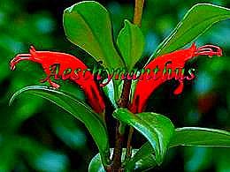 diaporama pps Aeschynanthus