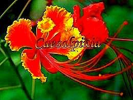 diaporama pps Caesalpinia