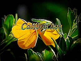 diaporama pps Calibrachoa