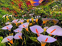 diaporama pps Calla Lily valley USA