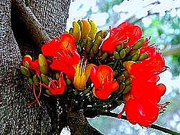 diaporama pps Castanospermum