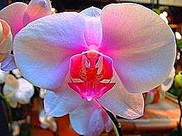 diaporama pps Fleurs de rêve l'orchidée