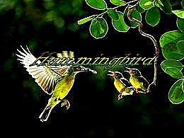 diaporama pps Hummingbird