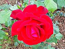 diaporama pps La roseraie de Rosheim