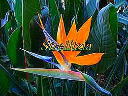 diaporama pps Strelitzia
