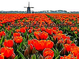 diaporama pps Tulip fields Netherlands