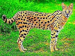 diaporama pps 21 espèces de chats sauvages