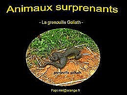 diaporama pps Animaux surprenants – La grenouille Goliath
