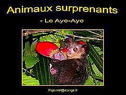 diaporama pps Animaux surprenants le Aye Aye