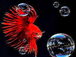 diaporama pps Betta Splendens