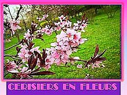 diaporama pps Cerisiers en Fleurs