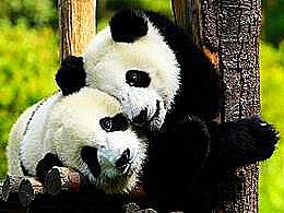 diaporama pps Éléphant Girafe Panda géant Panda roux