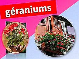 diaporama pps Géraniums