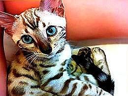 diaporama pps 21 races de chats les plus cher du monde