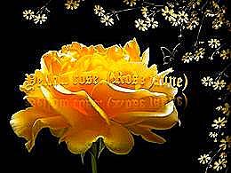 diaporama pps Yellow rose – Rose jaune