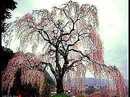diaporama pps Cerisiers en fleurs par Hidenobu Suzuki