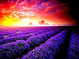 diaporama pps Mayfield lavender farm england