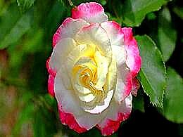 diaporama pps Rose rose per te