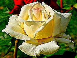 diaporama pps Roses blanches