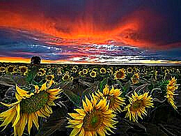 diaporama pps Sunflower fields
