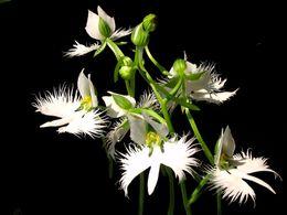 diaporama pps Habenaria radiata – Orchidée colombe