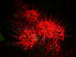 diaporama pps Lycoris