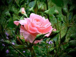 diaporama pps Pink – Rose