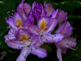 diaporama pps Purple rhododendron