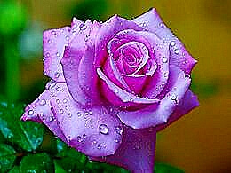diaporama pps Purple rose