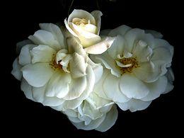 diaporama pps Rose