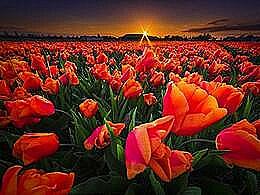 diaporama pps Tulip