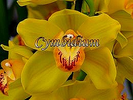 diaporama pps Cymbidium