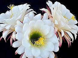 diaporama pps Echinopsis