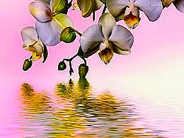 diaporama pps Phalaenopsis