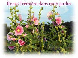 diaporama pps Roses Trémières dans mon jardin