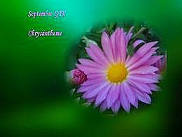diaporama pps Chrysanthème