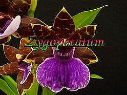 diaporama pps Zygopetalum