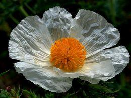diaporama pps Argemone albiflora