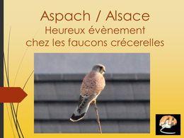 diaporama pps Couvée des Faucons crécerelle