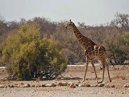 diaporama pps Faune d'Afrique – Girafe