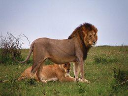 diaporama pps Faune d'Afrique – Lion