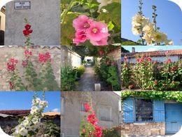 diaporama pps La rose Trémière fait le mur
