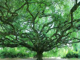 diaporama pps Les plus vieux arbres de France