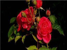diaporama pps Roses pour Carminé