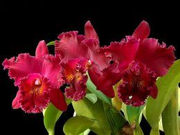 diaporama pps Brassolaeliocattleya chia lin