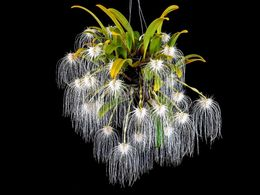 diaporama pps Bulbophyllum medusae