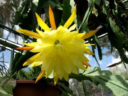 diaporama pps Epiphyllum crenatum