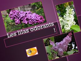 diaporama pps Les lilas odorants