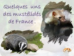 diaporama pps Mustélidés de France
