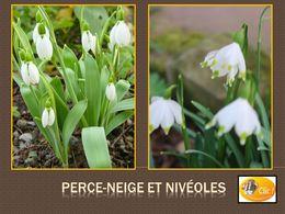 diaporama pps Perce-neige et Nivéole